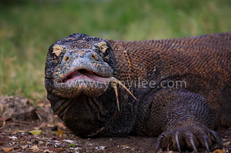 Komodo Dragon @ Komodo, Indonesia