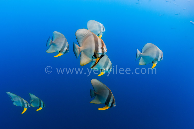 Longfin Batfish @ Lang Tengah Island, Malaysia (馬來西亞 浪中島)