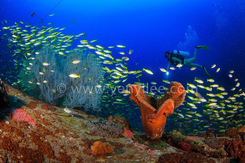 Sea sponge, sea fan and bigeye yellow snapper