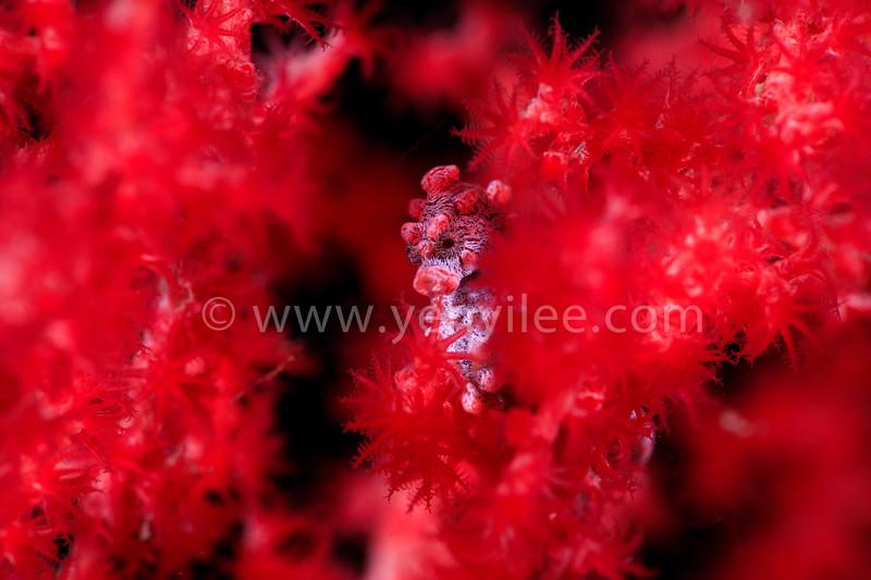 Blossom (Pygmy Seahorse) 盛開 (豆丁海馬) @ Lembeh Strait, Indonesia (印尼 藍碧海峽)