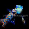 Mandarin Fish Mating (麒麟魚交配) @ Lembeh Strait, Indonesia (印尼 藍碧海峽)