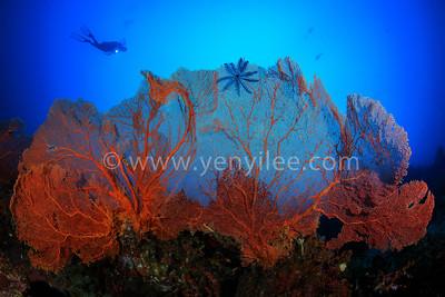 Giant Sea Fan @ Pulau Weh, Indonesia (印尼 韋島)