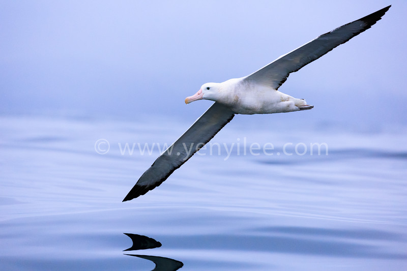Serenity.<br /> A Northern Royal Albatross gliding along the ocean.