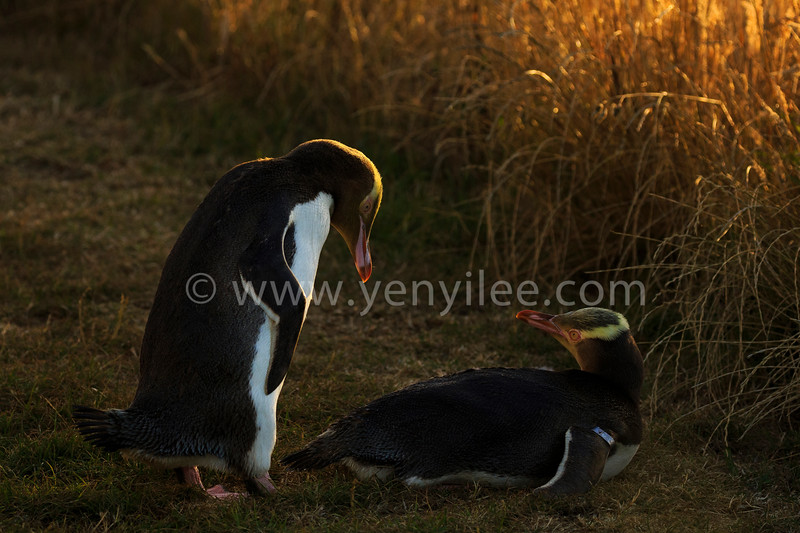 Yellow-Eyed Penguin (the rarest penguin in the world) @ Otago Peninsula, New Zealand