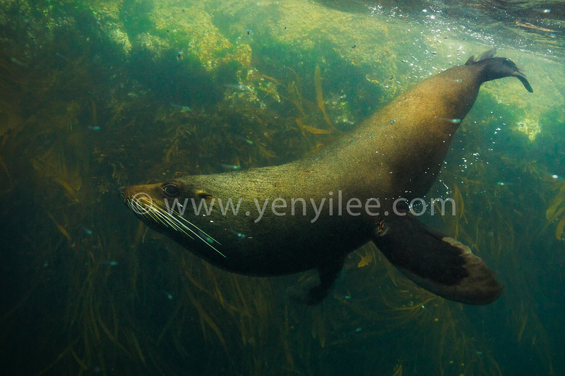 New Zealand Fur Seal (紐西蘭毛皮海獅) @ Kaikoura, New Zealand (紐西蘭 凱庫拉)