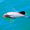 Hector's Dolphin (the rarest and smallest dolphin in the world) @ Akaroa, New Zealand