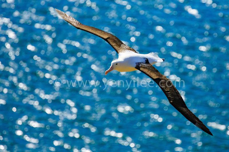 Northern Royal Albatross (北方皇家信天翁) @ Otago Peninsula, New Zealand (紐西蘭 奧塔哥半島)