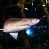 Sand Tiger Sahrk (沙虎鯊) @ North Carolina, USA (美國 北卡羅萊納州)