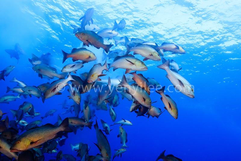 Twinspot Snapper Spawning @ Shark City, Palau
