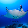 Manta Cleaning Station @ German Channel, Palau