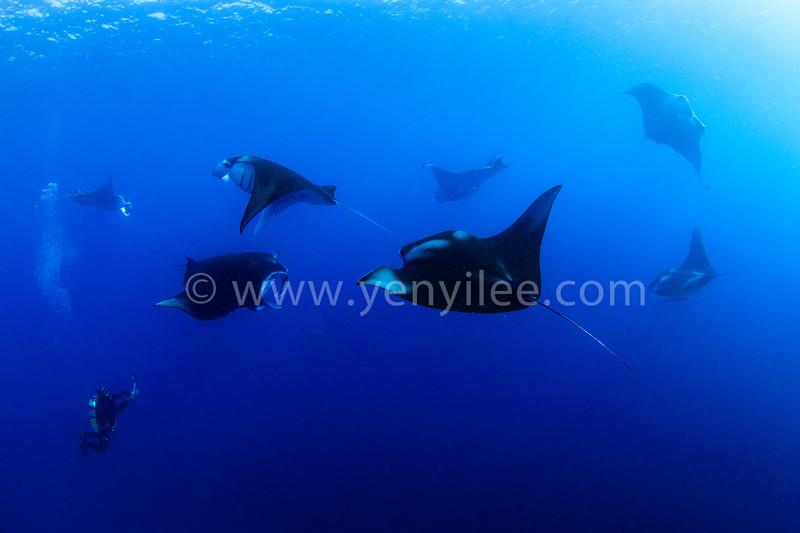 Manta Feeding @ German Channel, Palau