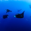 Manta Feeding @ German Channel, Palau