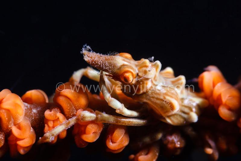 Xeno Crab @ Dumaguete, Philippines