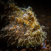 Hairly Frogfish @ Anilao, Philippines