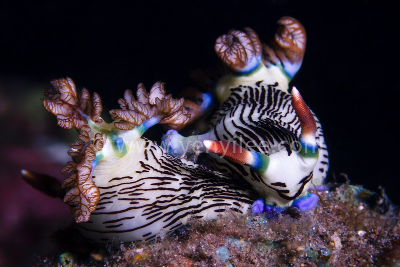 Mate (Polyceridae - Lined Nembrotha) @ Dumaguete, Philippines (菲律賓 杜馬蓋地)
