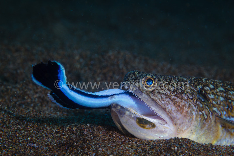 The lizardfish ate the false cleanerfish.<br /> @Dumaguete, Philipines