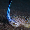 The false cleanerfish was struggling for life.<br /> @Dumaguete, Philipines