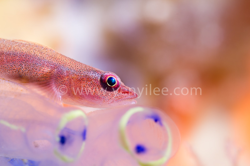 Dream (Goby) @ Dumaguete, Philippines<br /> Cover Photo, EZDIVE 2013 issue 3, volume 42
