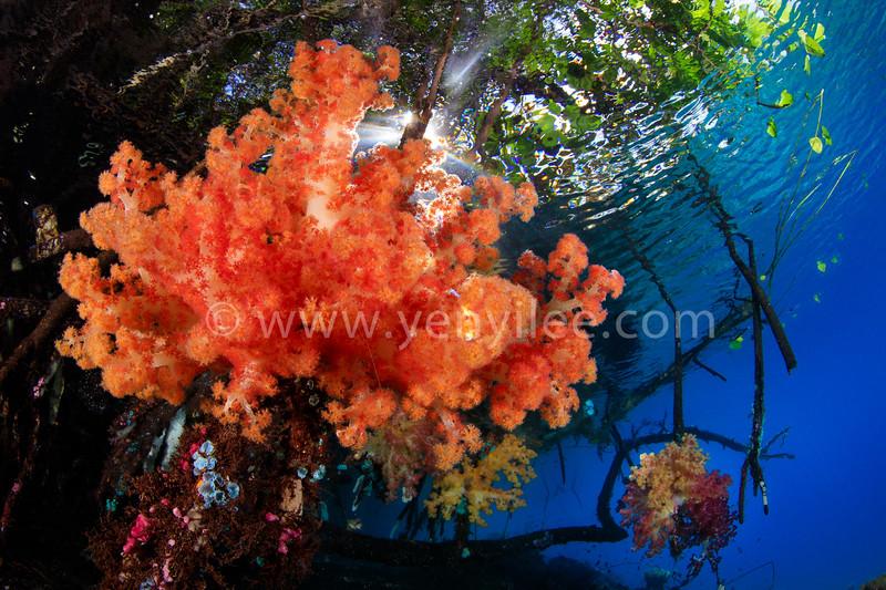 Blue water mangrove, Raja Ampat