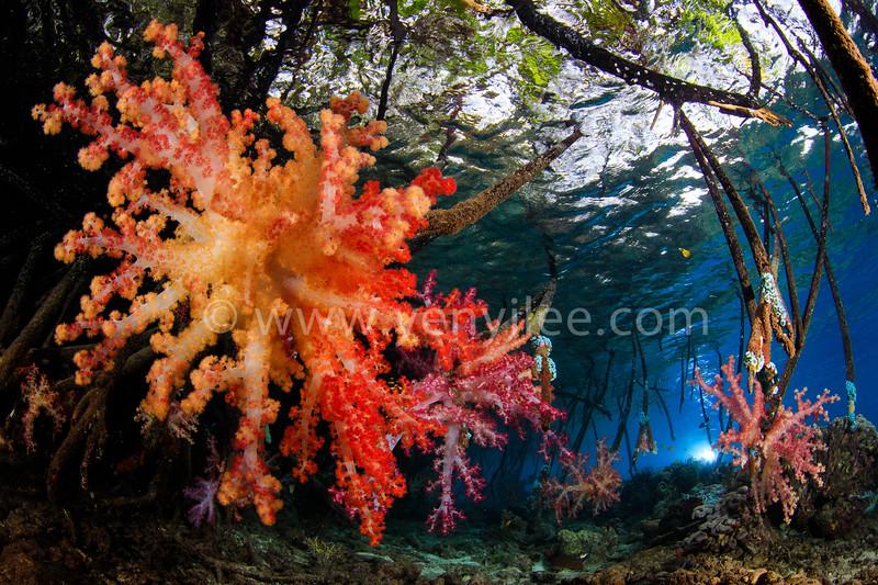 Blue Water Mangrove @ Raja Ampat