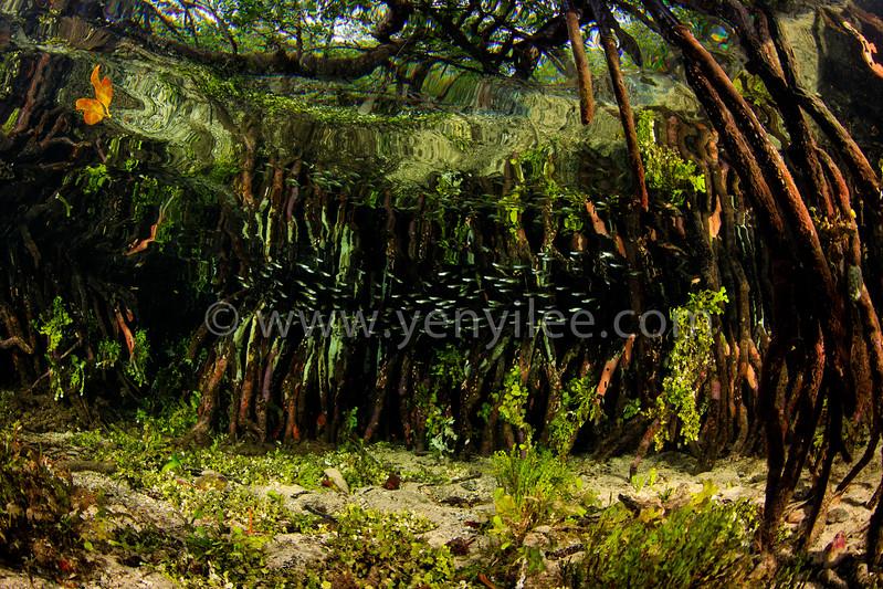Mangrove @ Raja Ampat