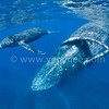 Humpback Whales @ Reunion