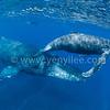 Humpback Whales @ Reunion