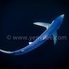 Blue Shark (藍鯊) @ Rhode Island, USA (美國 羅德島)
