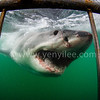 Great White Shark @ Mossel Bay