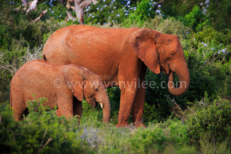 African Elephant - Mother and Calf @ Addo Elephant Park