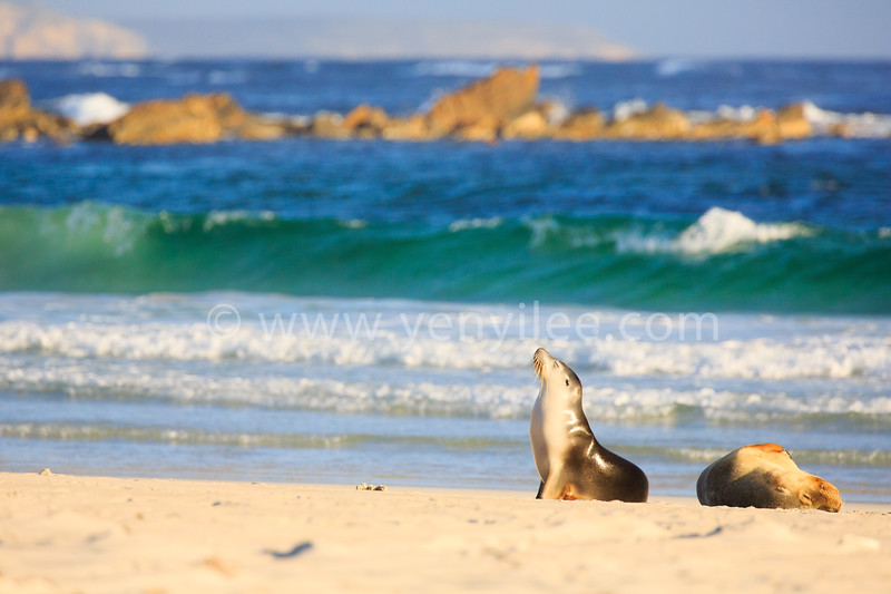 Australian Sea Lion @ Kangaroo Island, South Australia