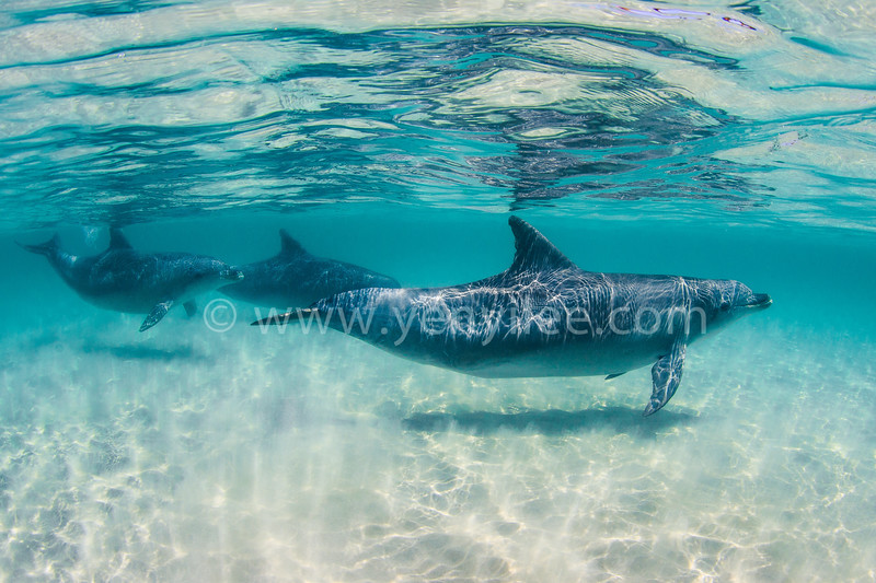 Bottlenose Dolphin (瓶鼻海豚) @ Kangaroo Island, South Australia (南澳洲 袋鼠島)