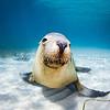 Look At Me (澳洲海獅) @ Hopkins Island, South Australia (南澳洲 霍普金斯島 )
