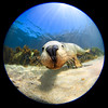 Underwater Big Head Dog @ Hopkins Island, South Australia