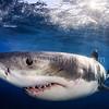 Shark Torpedo (白鯊魚雷) @  Neptune Island, South Australia (南澳洲 尼普頓島)