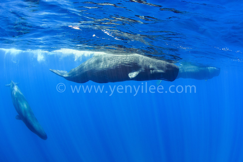 Sperm Whale (抹香鯨) @ Trincomalee, Sri Lanka (斯里蘭卡 亭可馬里)