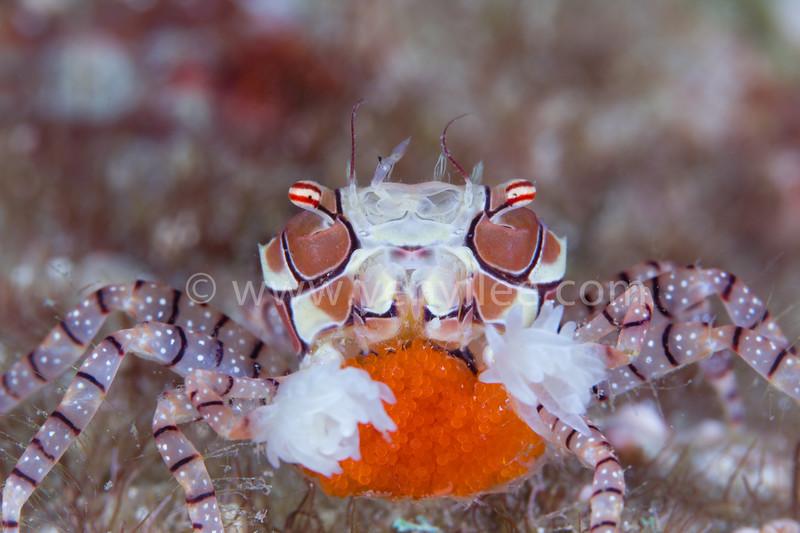 Boxer Crab @ Green Island (綠島), Taiwan