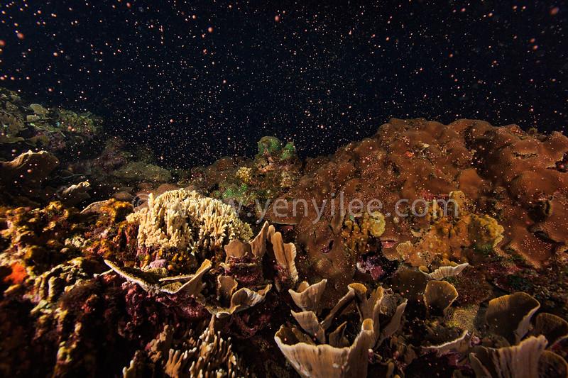 Coral Spawning (珊瑚產卵) @ Kenting (墾丁), Taiwan