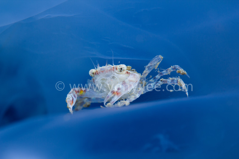 Crucfix Crab (Charybdis Feriatus) in Jellyfish @ Long Dong (龍洞), Taiwan