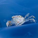 Crucfix Crab (Charybdis Feriatus) in Jellyfish @ Long Dong, Taiwan