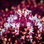 Candy Crab with Soft Coral @ Keelung, Taiwan
