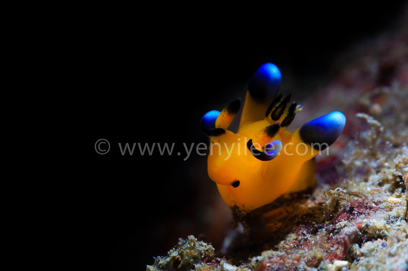 Pikachu Nudi (Pacific Thecacera) 皮卡丘 @ Long Dong (龍洞), Taiwan