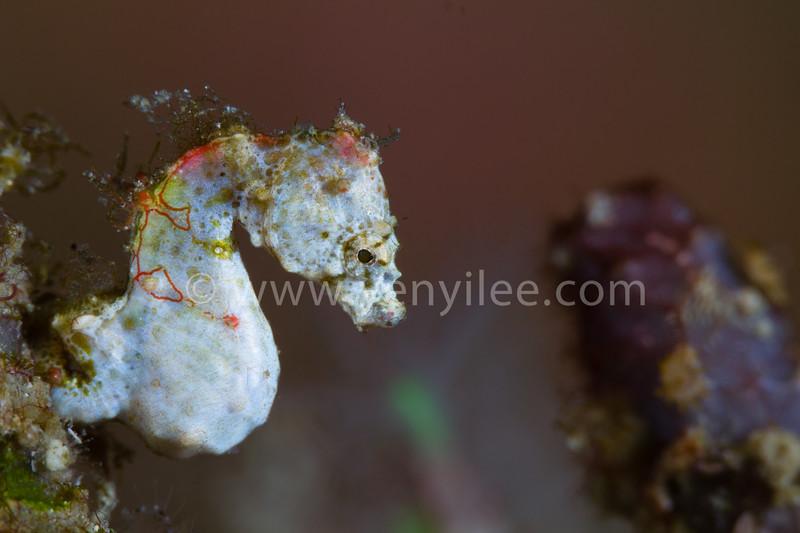 Pontohi Pygmy Seahorse @ Green Island (綠島), Taiwan
