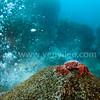 Hot Spring Crab (Xenograpsus testudinatus) @ Kueishan Island, Taiwan