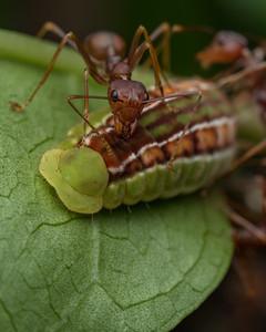 Weaver ants tending Lycaenid caterpillar