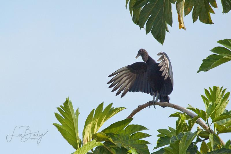 Peruvian Buzzard