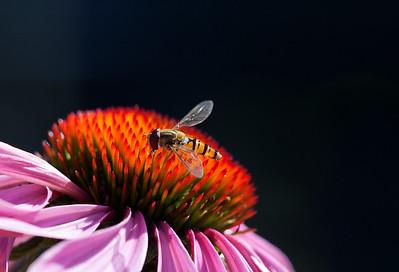 06 Hoverfly on Echinacia Purura