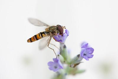 01 Hoverfly on purple flower - 53x73,5cm print with black frame and plexiglas