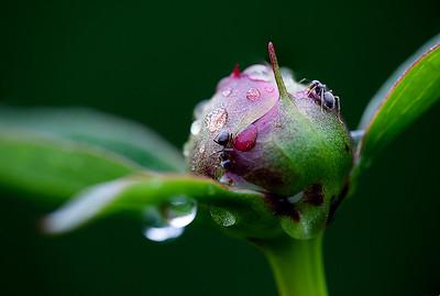 03 Peony bud with ants