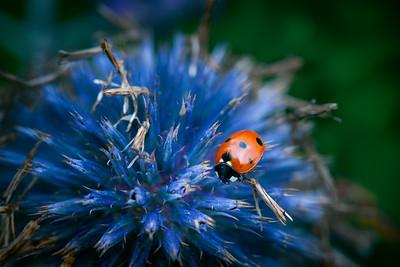 07 Lady bug on a blue flower - 53x73,5cmblack frame and plexiglass